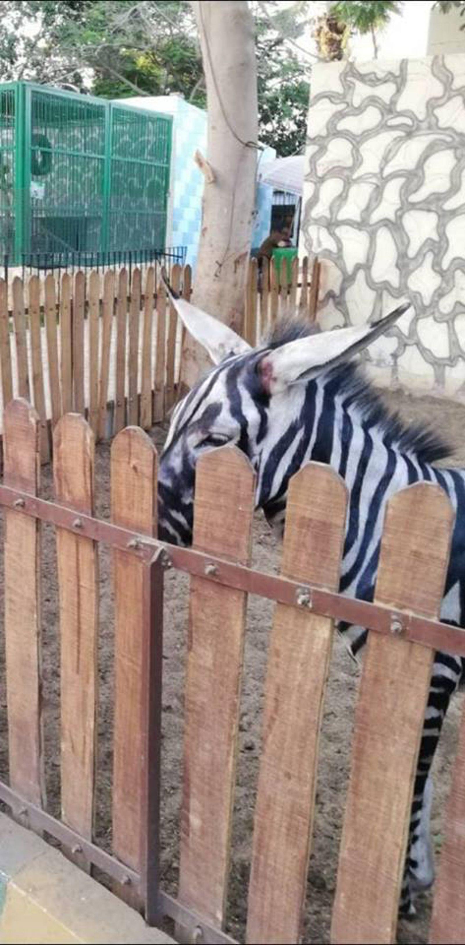 埃及動物園畫驢扮斑馬被識穿