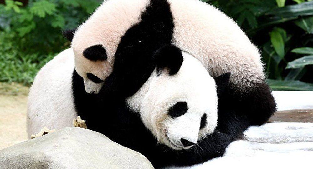 中國野生大熊貓數量突破1,800隻