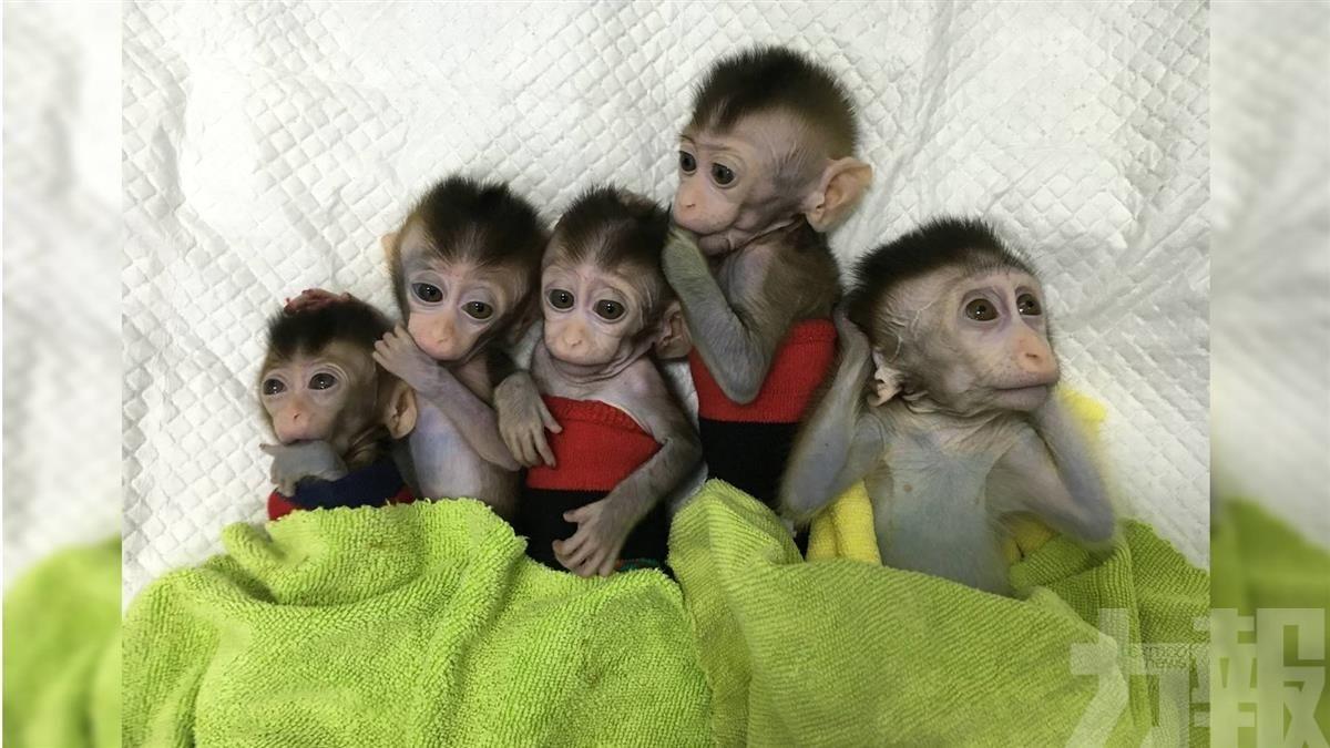 中國誕首批失眠複製猴