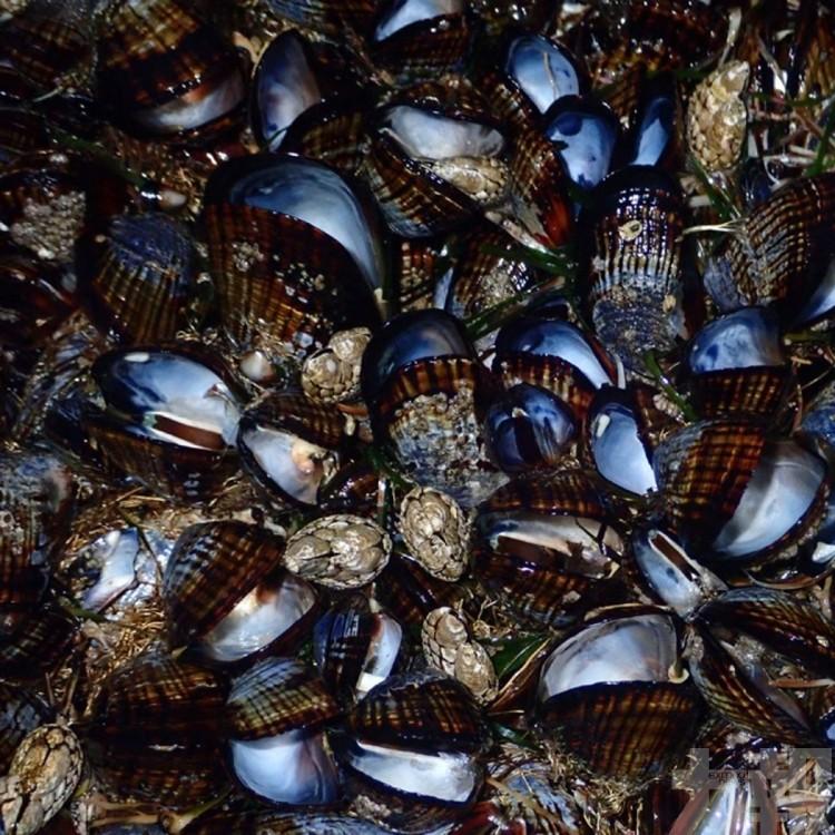 加州海岸成千上萬青口被「煮熟」