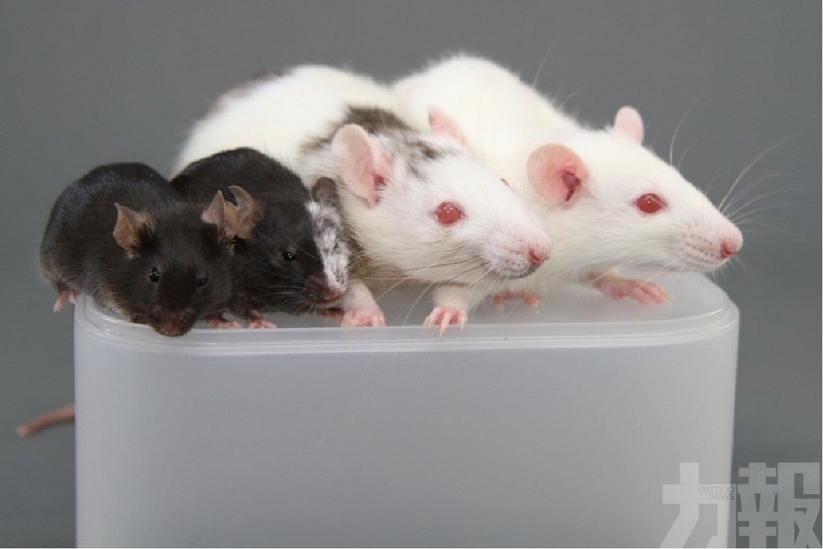 實驗鼠體內培育人類胰臟
