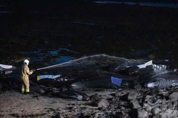 冰島海灘再現鯨魚群擱淺