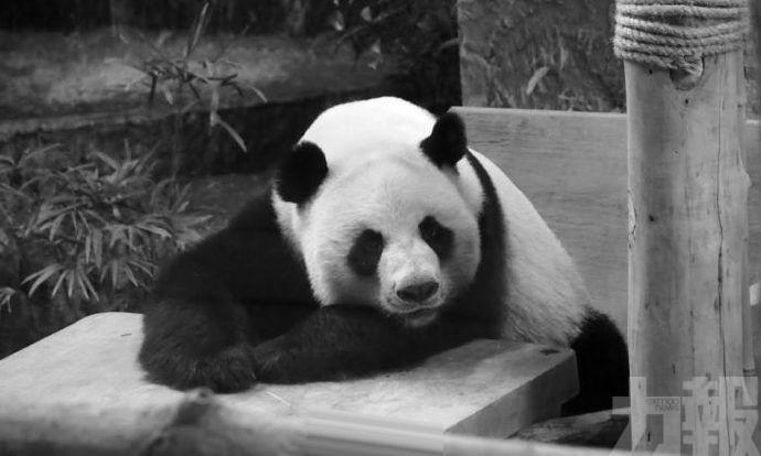 旅泰大熊貓「創創」摔倒後死亡
