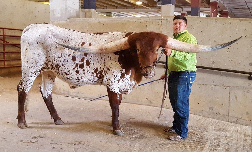 破紀錄!美國長角牛兩角寬度逾3米