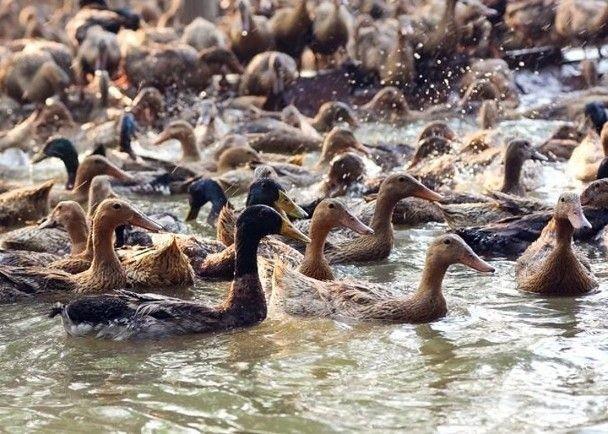 694隻鴨被撲殺