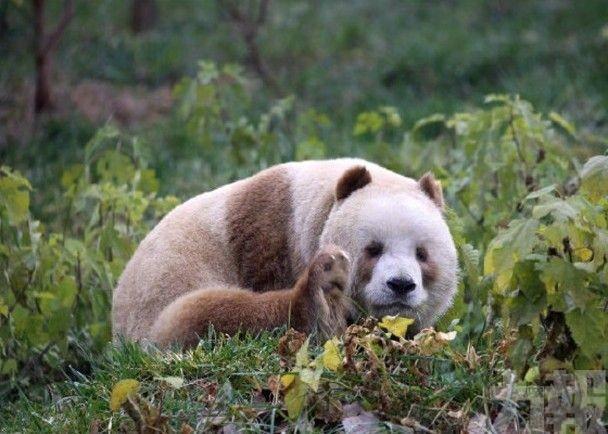 「七仔」被熊貓國際終身認養