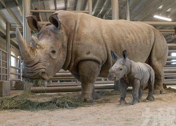第2隻人工授精南方白犀牛出世