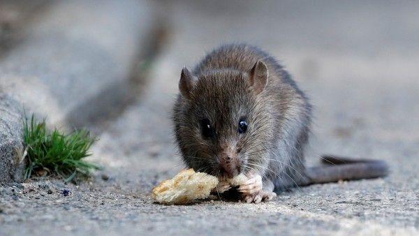 北京啟動全市統一滅鼠行動