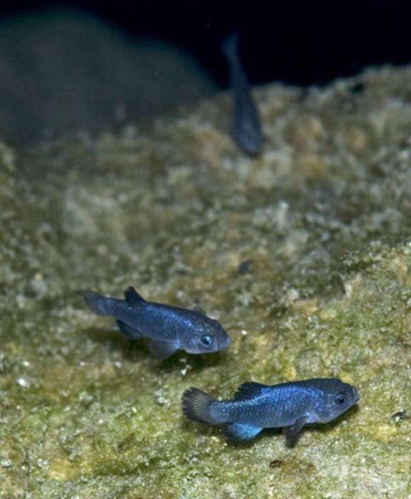 稀有「沙漠魚」面臨絕種全球僅剩38條!