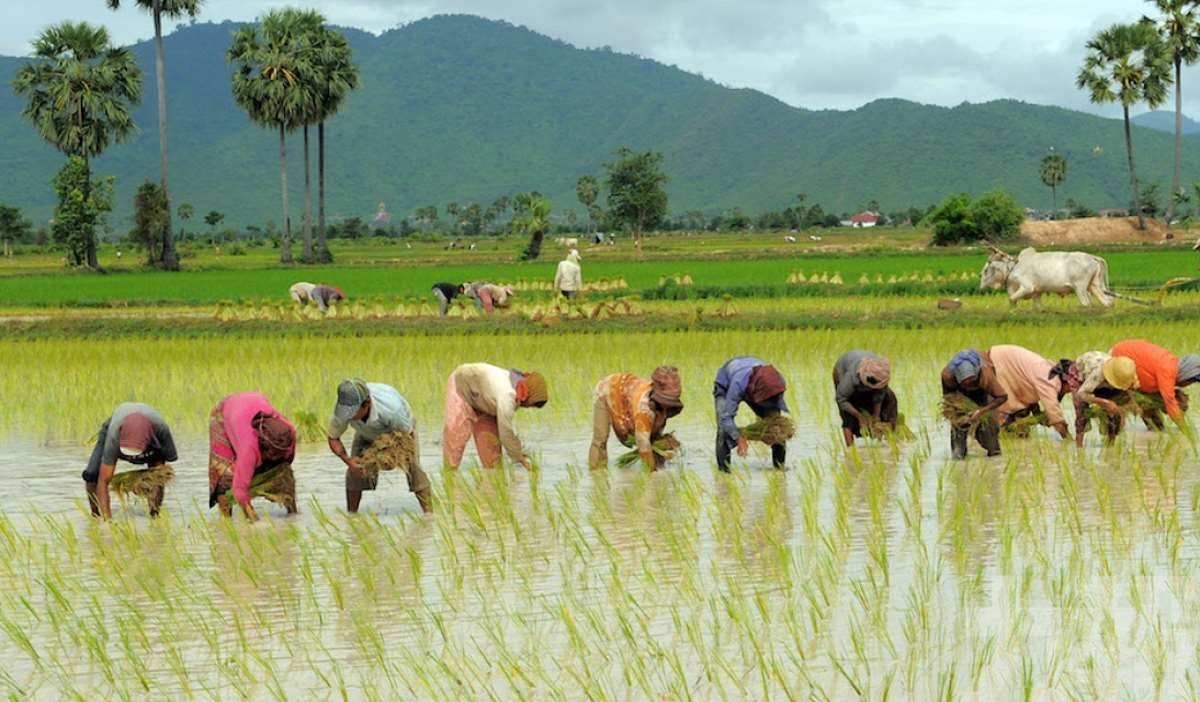柬埔寨2019年對華大米出口創新高