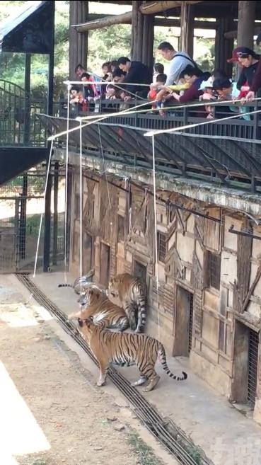 園方:老虎跳唔到上嚟