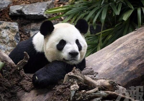 旅加大熊貓將提前回國