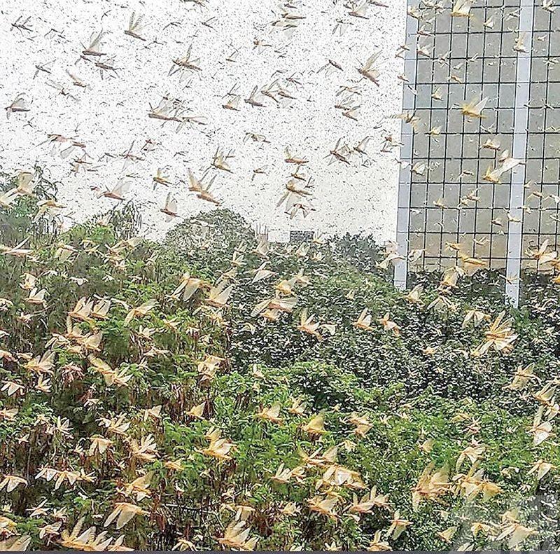 蝗蟲大軍逼近新德里