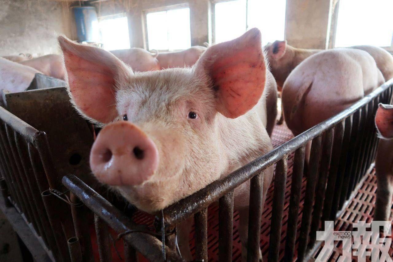 下周起每周輸澳200頭冷藏豬肉