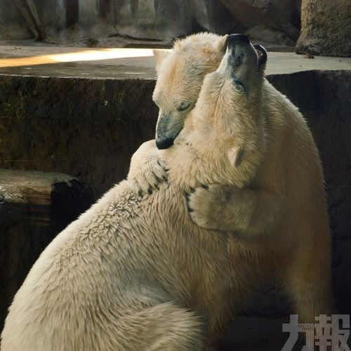 北極熊恐將在80年內滅絕!