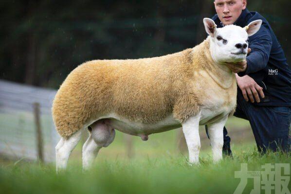 英國一隻羊以逾382萬拍賣成交