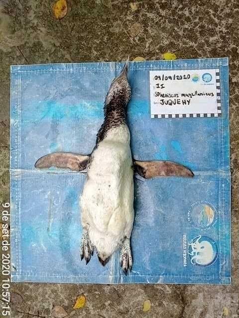 麥哲倫企鵝伏屍巴西沙灘