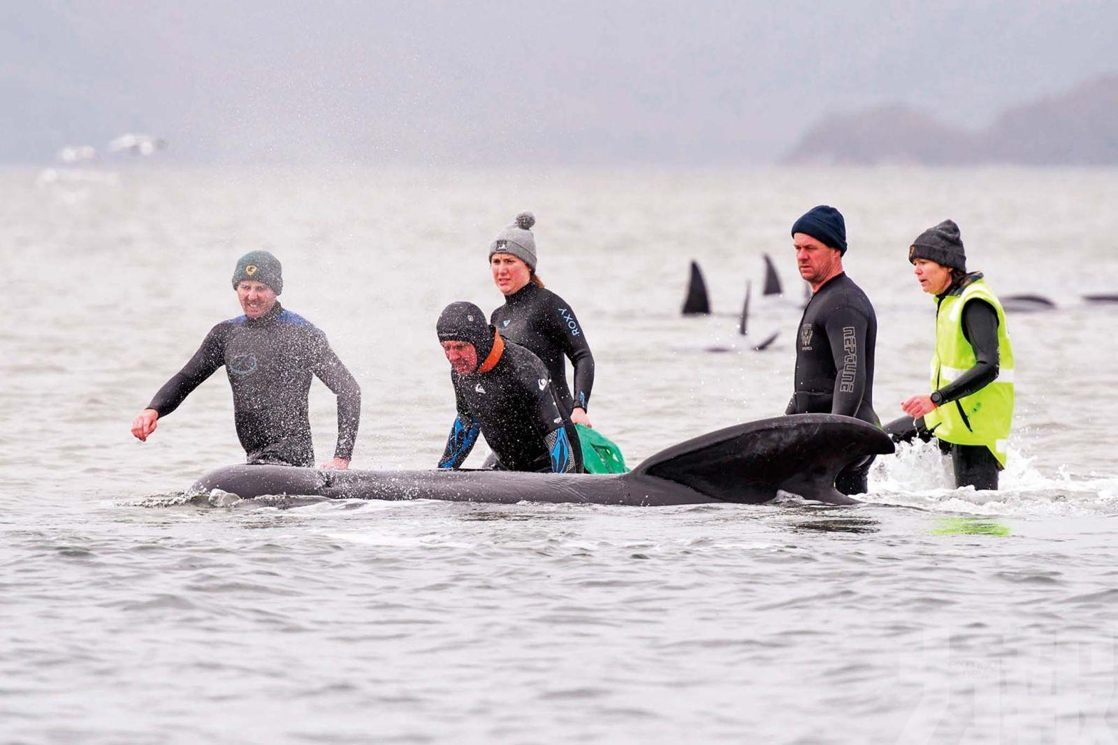 470頭鯨魚擱淺380頭已死亡