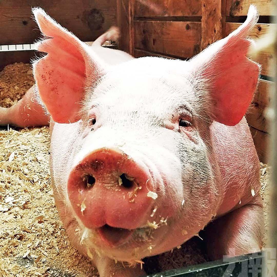 飲水加料母豬催情素?官方:實為「醫用注射液」