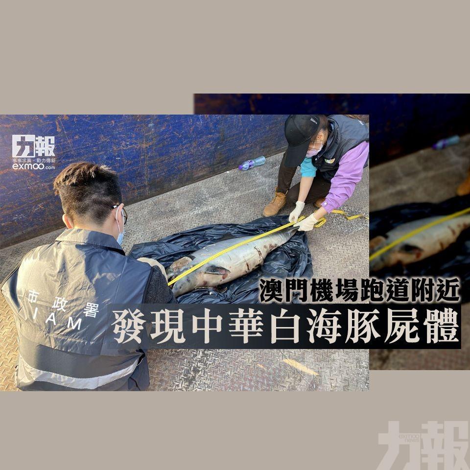 澳門機場跑道附近發現中華白海豚屍體