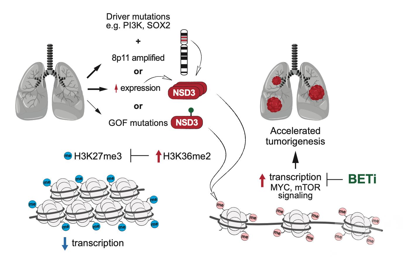 NSD3蛋白或是治療肺癌有效靶點