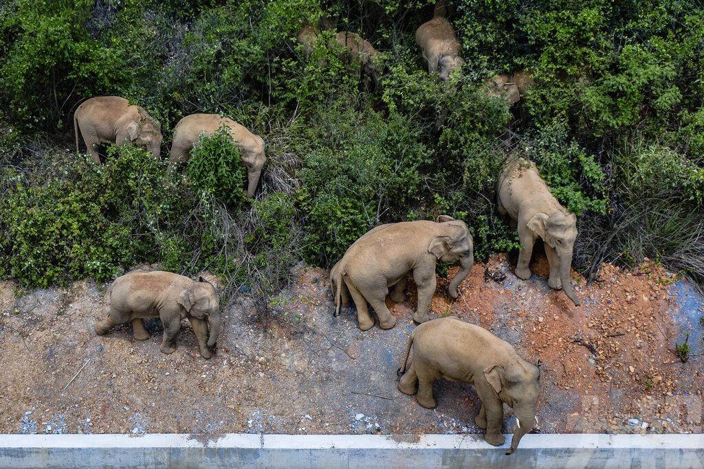 雲南大象旅行團進入誘導區域