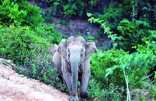 北上「大象旅行團」即將進城