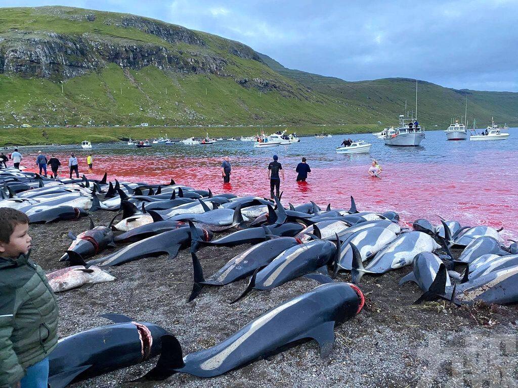 丹麥百年傳統血洗海灘