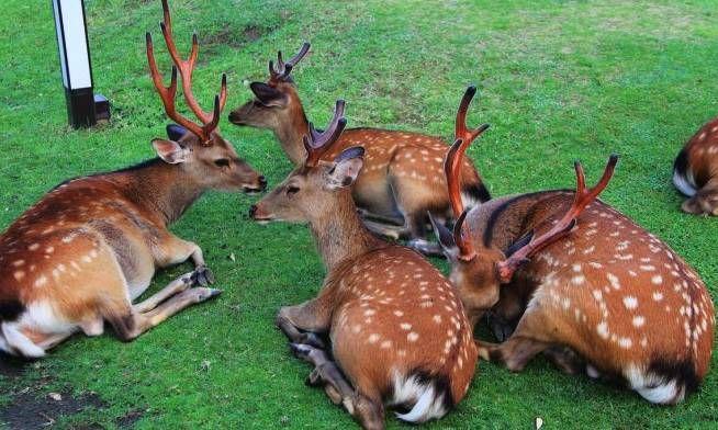 日奈良公園今年首隻鹿BB出世