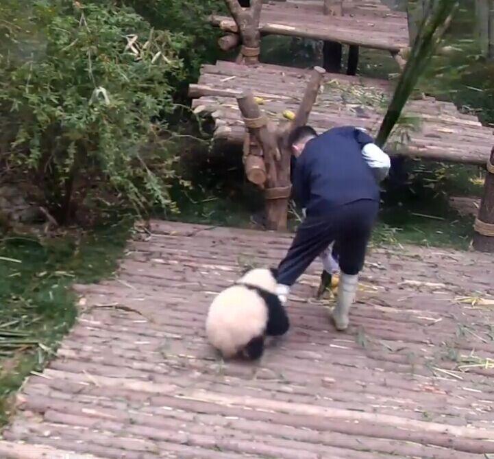熊貓撒嬌抱腿萌到爆