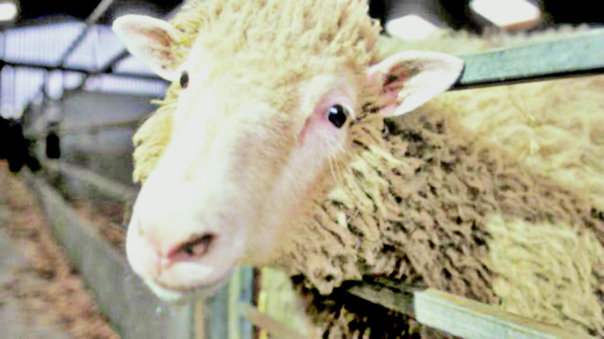 津「克隆工廠」產肉牛