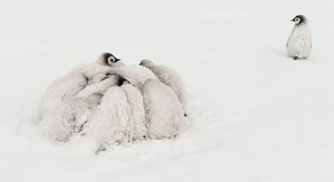 怕凍皇帝企鵝攬埋一舊擋暴風雪