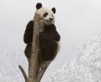 大熊貓不再列為「瀕危」