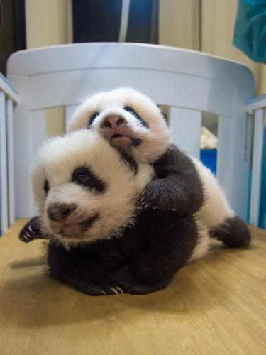 熊貓BB取名為「健健」「康康」