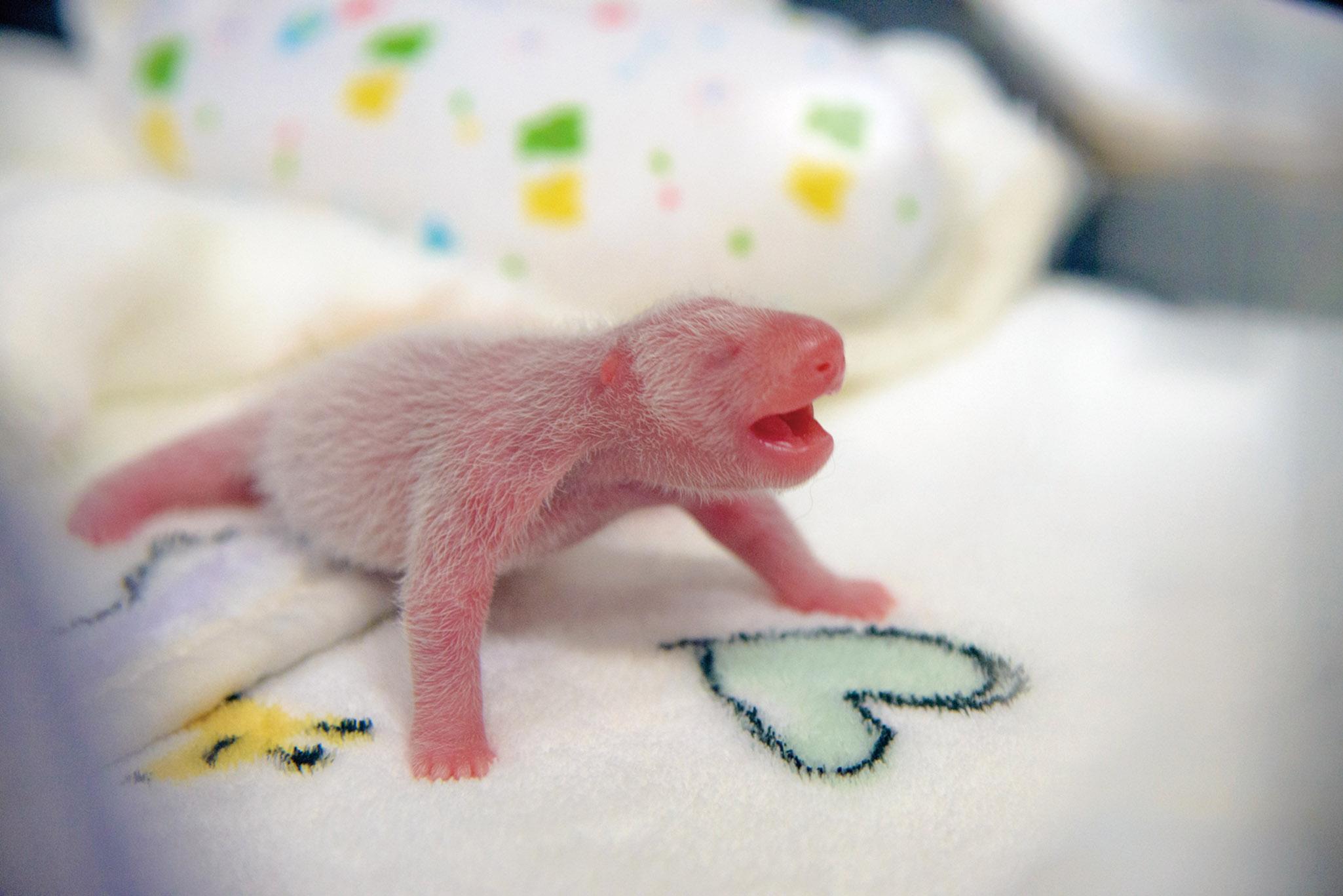 熊貓寶寶日後將留在澳門