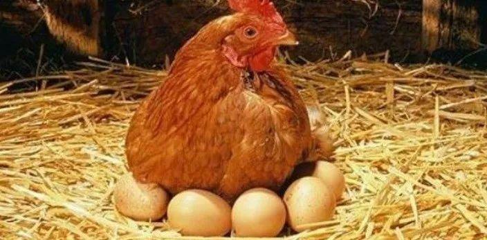 號召「吃蛋不殺雞」