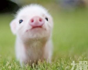 寵物豬恐傳播非洲豬瘟