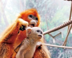 川金絲猴寶寶來啦