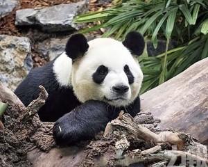 旅加大熊貓提前回國