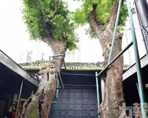 五百年私人古樹首納保護名錄