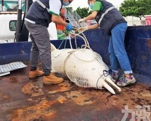 今年發現四條其三為中華白海豚