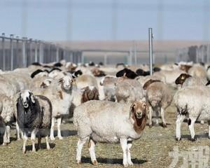 首批4,000隻入境 變成羊肉後送往湖北