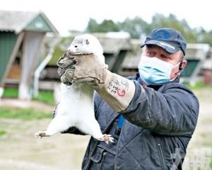 丹麥撲殺全境1,700萬隻水貂