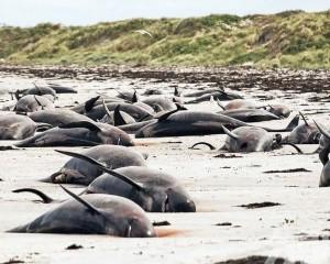 逾130頭鯨魚死亡