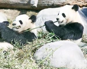 旅加大熊貓提前返國
