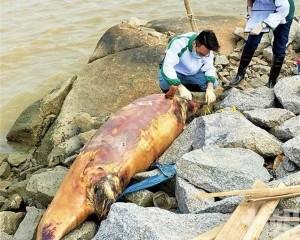 一為中華白海豚 另一為江豚