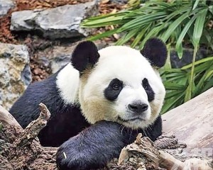 大熊貓館5月起免費開放