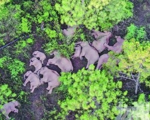 雲南將助象群返回棲息地