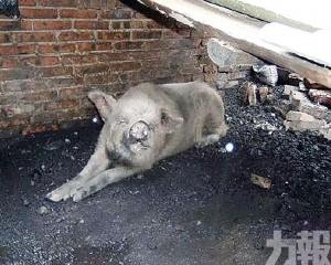 「豬堅強」年老衰竭去世