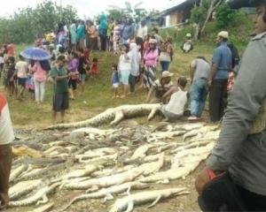 村民為報復殺近300條鱷魚